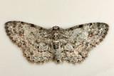 6443 - Texas Gray Moth - Glenoides texanaria