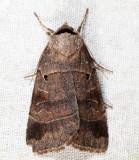 10955 - Pale-banded Dart - Agnorisma badinodis