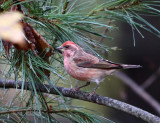 Purple Finch - Haemorhous purpureus