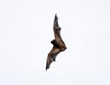 Red Bat - Lasiurus borealis