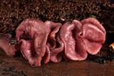 Ascocoryne cylichnium