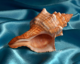 Horse Conch 1