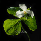 201 - Large-Flowered Trillium Two (Favorite Trillium Portrait)