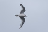 Ross' Meeuw / Ross's Gull