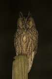 Ranuil / Long-eared Owl