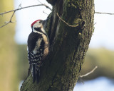 Middelste Bonte Specht / Middle Spotted Woodpecker