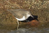 Oeverloper / Common Sandpiper