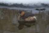 Dodaars / Little Grebe