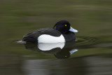 Kuifeend / Tufted Duck