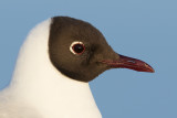 Kokmeeuw / Black-headed Gull