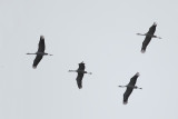 Kraanvogels / Common Cranes