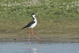 Steltkluut / Black-winged Stilt