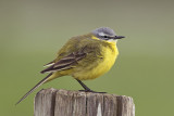 Gele Kwikstaart / Blue-headed Wagtail