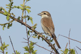 Grauwe Klauwier / Red-backed Shrike