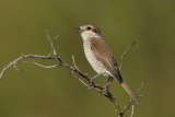 Grauwe Kauwier / Red-backed Shrike