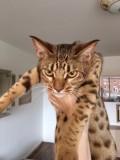 Zam 8 month old, grumpy cat looks