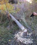 Escalante River - beaver action!