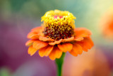 10 Cent Flowers (Zinnia)