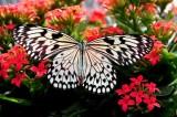 Lepidoptera 1000