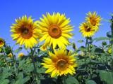 Sunflowers 1000