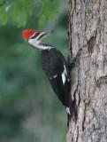 Pileated Woodpecker_Bari_1000.JPG