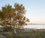Birch by the Bay