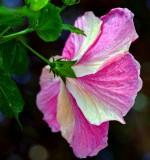 pink and white hibiscus Makena Maui Hawaii