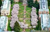 University of Washington Campus The Quad and Cherry Blossom Seattle Washington 123