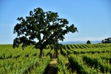Tree and Vineyard in Sonoma County 225