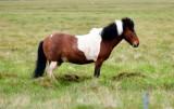 Icelandic Horse 116