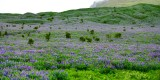 Field of Lupine flower in Iceland 559