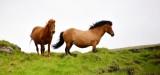 Icelandic Horses, Iceland 309