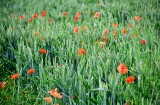 Poppies in wheat field, Hurth Germany 037