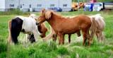 Icelandic Horses 293