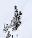 Standing Tall on Slope, Cascade Mountains 198