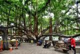 Lahaina Banyon Tree park, Hawaii 068