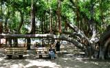 Waiting under banyon tree at Old Lahaina Courtyard, Maui, Hawaii 108