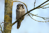 8804 Northern hawk owl / sperweruil