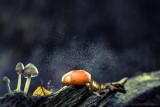 2N9B0574 toadstool