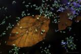 2N9B1187 autumn beech leave  / beukenblad herfst
