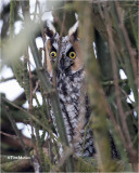 Long-eared Owl ( they would just not get in the open)