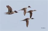 Northern Pintails  (courtship flight)