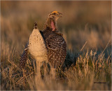 Sharp-tailed Grouse (love that first light)