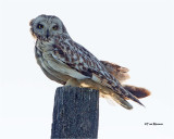 Short-eared Owl (backlit)