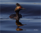 loons_grebes