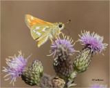 Common Banded Skipper