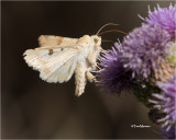 Darker Spotted Straw Moth
