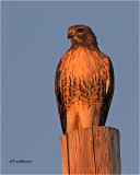 Red-tailed Hawk   Golden light right before sunset