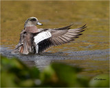 Amereican Wigeon
