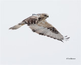 Rough-legged Hawk  (Note the wing Tag)